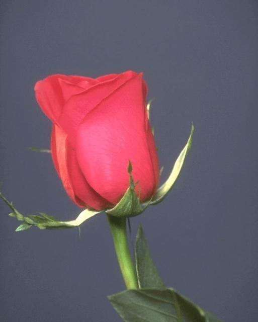 Ajmal Sowar صور ورود متحركة رومانسية 2013 صور وردة حمراء جميله