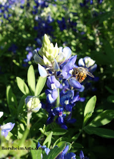 Texas bluebonnets with Bee feeding
