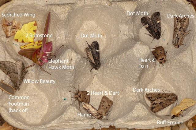 Moths from a garden light trap in an egg box.  25 June 2018.