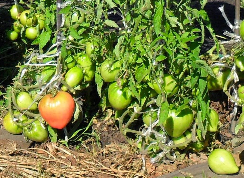 Детерминантные помидоры растут по два корня в лунке