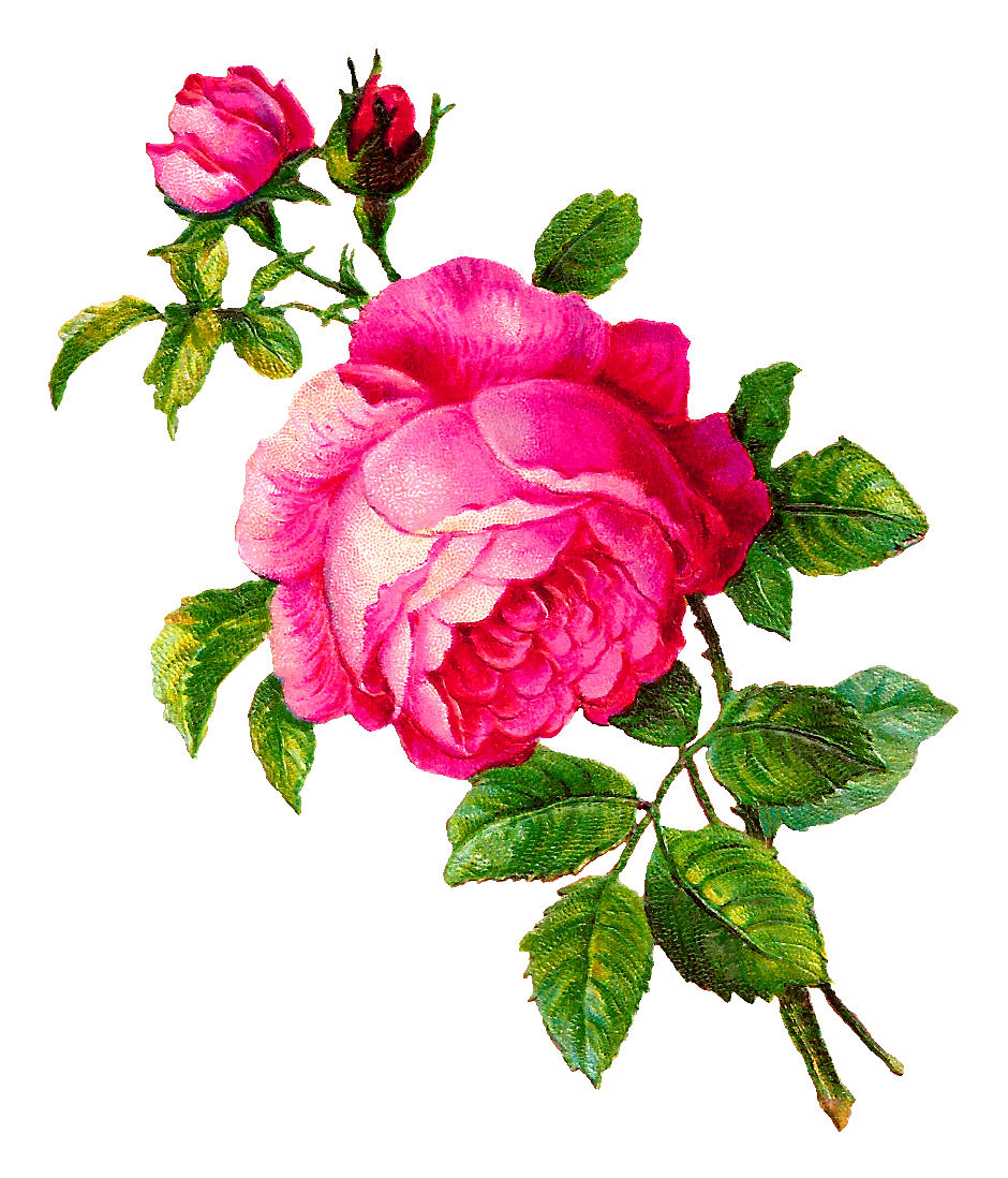 Antique images digital rose illustration pink flower botanical clip art pink rose clip art g mightylinksfo
