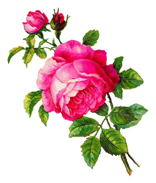 antique digital rose illustration