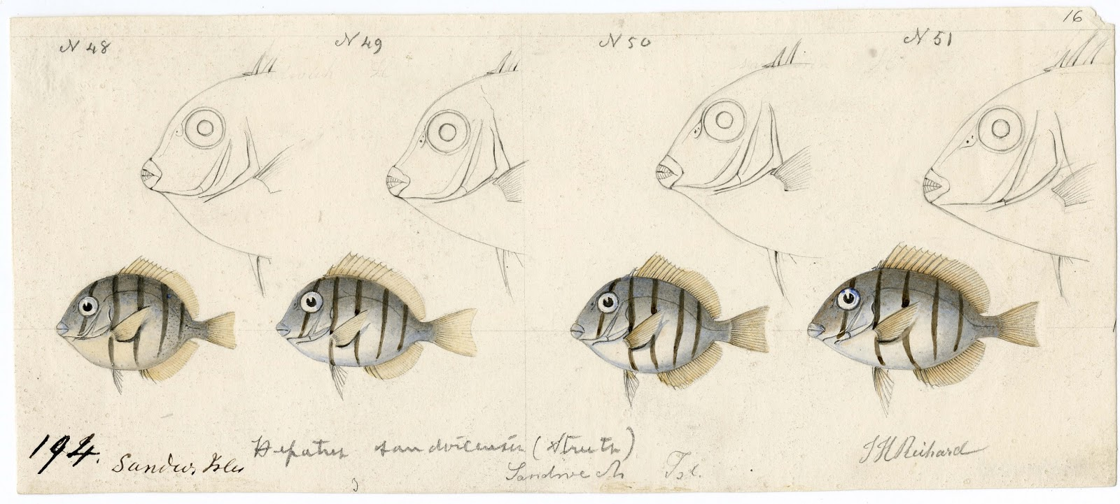 Data Deluge Drawing of fish observed in the Hawaiian Islands 1838