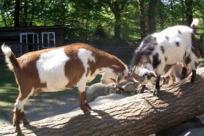 goat breeding, about goat breeding, goat breeding information, goat breeding facts, information about goat breeding