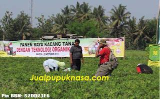 Cara Mengatasi Hama Penyakit Kacang Tanah