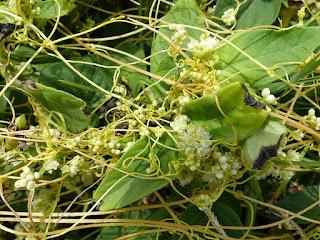 Cassute filiforme - Liane foutafout - Liane ficelle - Cassytha filiformis