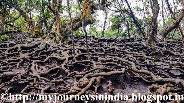 Roots showing up above Soil at Guna Caves Kodaikanal