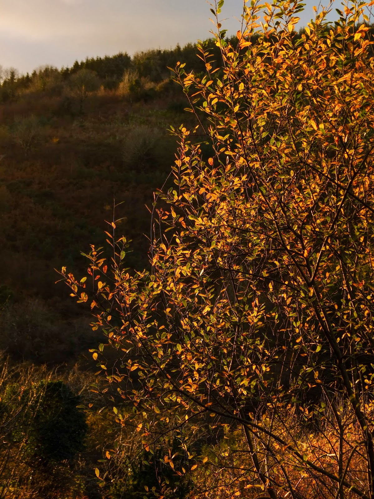 A willow tree covered in yellow leaves shimmering during golden hour.