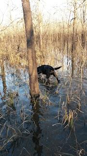 North Texas Retriever Trainers|North Texas Duck Hunting