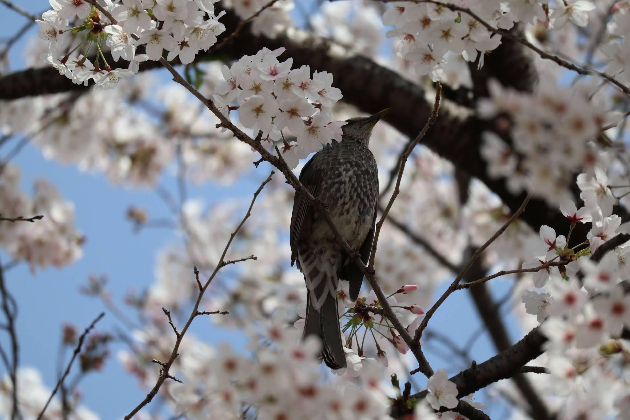岩倉桜まつり8