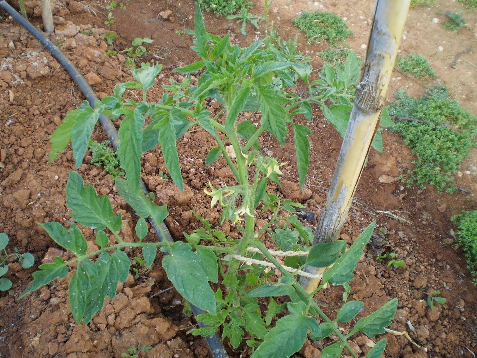 Cultivar Huerto Casero Huerto Casero Plantar Patatas En Casa  ~ Como Cultivar Tomates En El Huerto