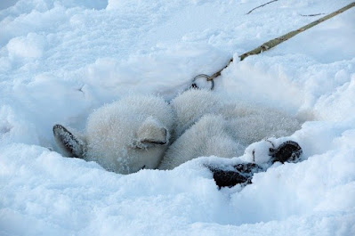 A furry sled dog takes a nap in the snow.