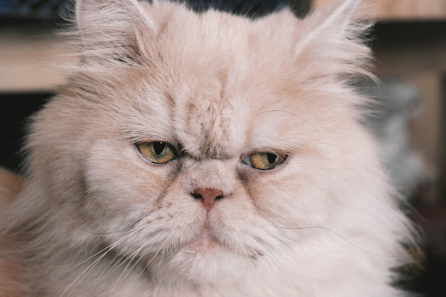 Persian Cat Breed Profile | Purina voice search search spyglass search toggle Facebook Twitter Youtube Instagram search spyglass