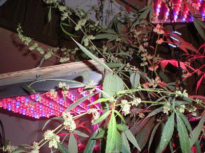 cultivo de marihuana con LED