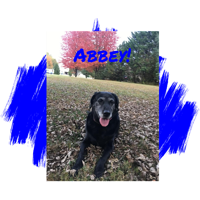 Black Labrador Retriever Adoption