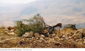 Gideon Levy's fake olive trees in Haaretz