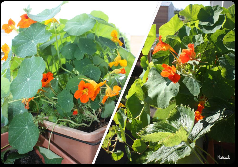 différentes variétés de fleurs de balcon avec le coffret  Radis et capucine