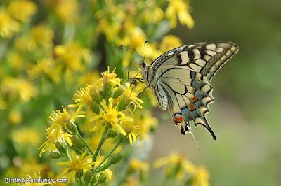 Papallona reina (Papilio machaon)