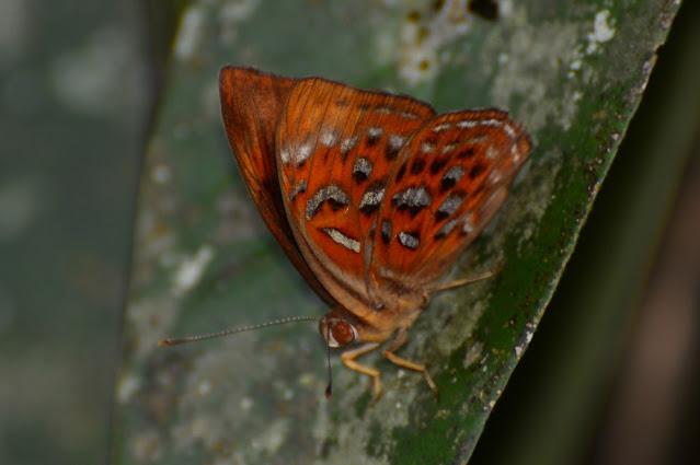 Taxila haquinus