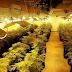 Detenido en Ibi por tener dos cultivos de marihuana, uno como laboratorio, con 794 plantas