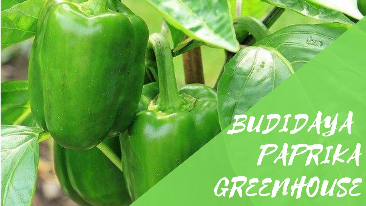 Budidaya Paprika Dalam Greenhouse