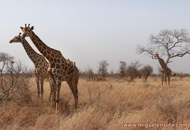 Jirafas-Kruger-Sudáfrica