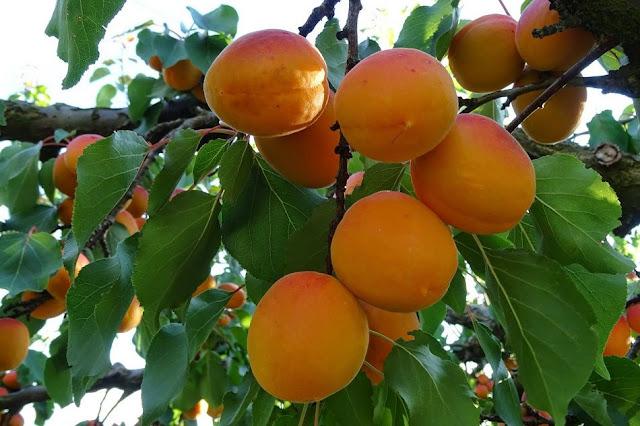 Quả mơ chín - Cây Mơ - Prunus armeniaca - Nguyên liệu làm thuốc Chữa Ho Hen