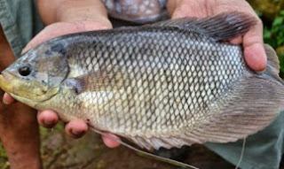 cara budidaya ikan gurame agar cepat besar,budidaya ikan gurame di kolam kecil,cara budidaya ikan gurame di kolam tanah,budidaya ikan gurame di kolam beton,budidaya ikan gurami,