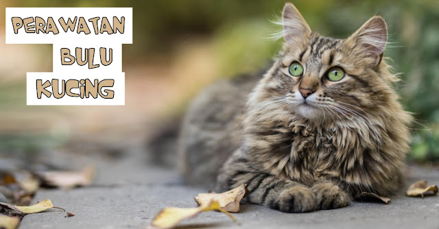 Perawatan Bulu Kucing Supaya Sehat