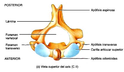 Axis forámenes vertebrales anatomía