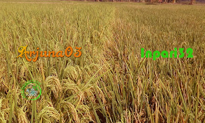 FOTO 2 : Padi ARJUNA 03 premium dan padi Inpari32