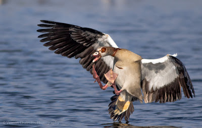 Egyptian goose landing in the Diep River, Woodbridge Island