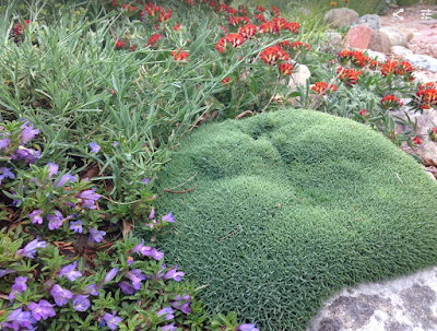 Penstemon, Dianthus, and other rock garden plants