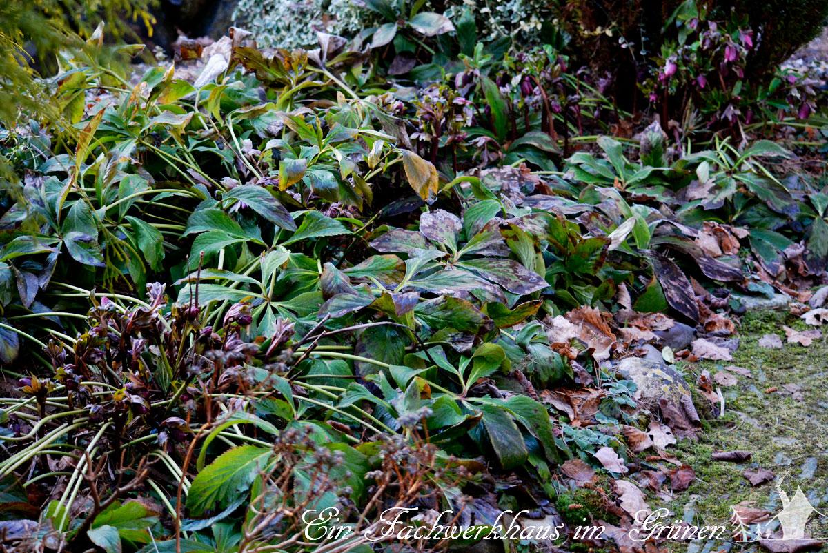 Helleborus im Fruehling schneiden
