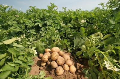 45 λεπτά το κιλό, κλείδωσε η… τιμή ανοιξιάτικης πατάτας στη Μεσσηνία