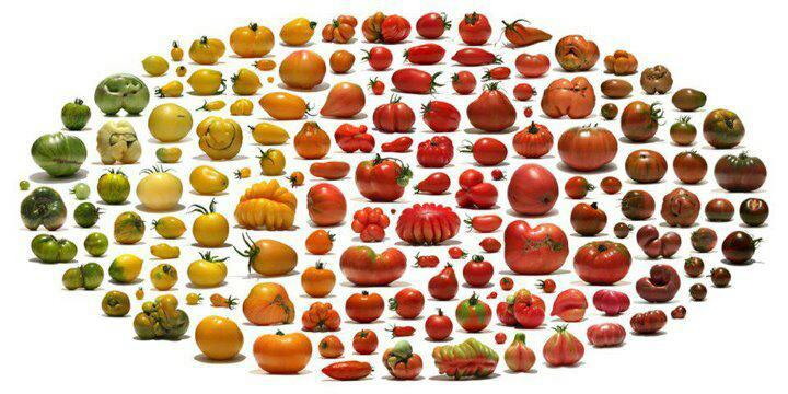 all about gardening top 3 heirloom tomato varieties to grow