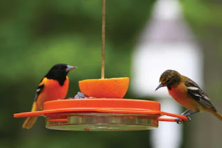 Orioles on Birds Choice Oriole Feeder