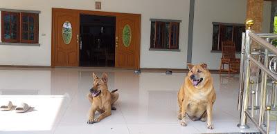 Thailändische Strassenhunde