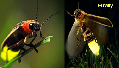 firefly, firefly insect, lighting bug, জোনাকী