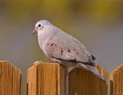 Photo of Common Ground-Dove on fence