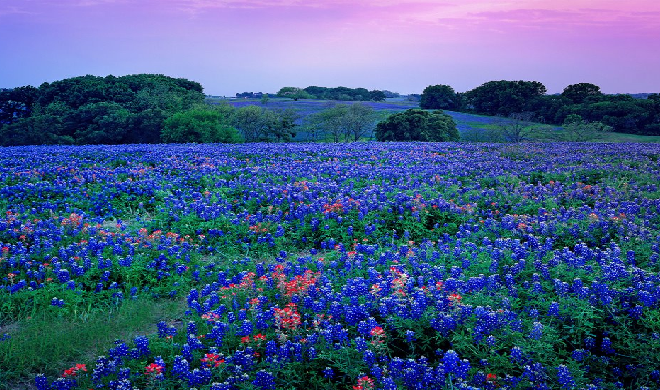 Bluebonnet Flower Wallpaper