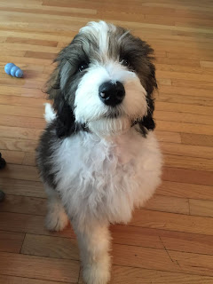 F1b Bernedoodle Temperament, Size, Lifespan, Adoption, Price