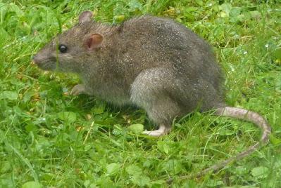 diệt chuột giá rẻ