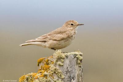 aves del sur de Argentina Caminera patagónica Geositta antarctica
