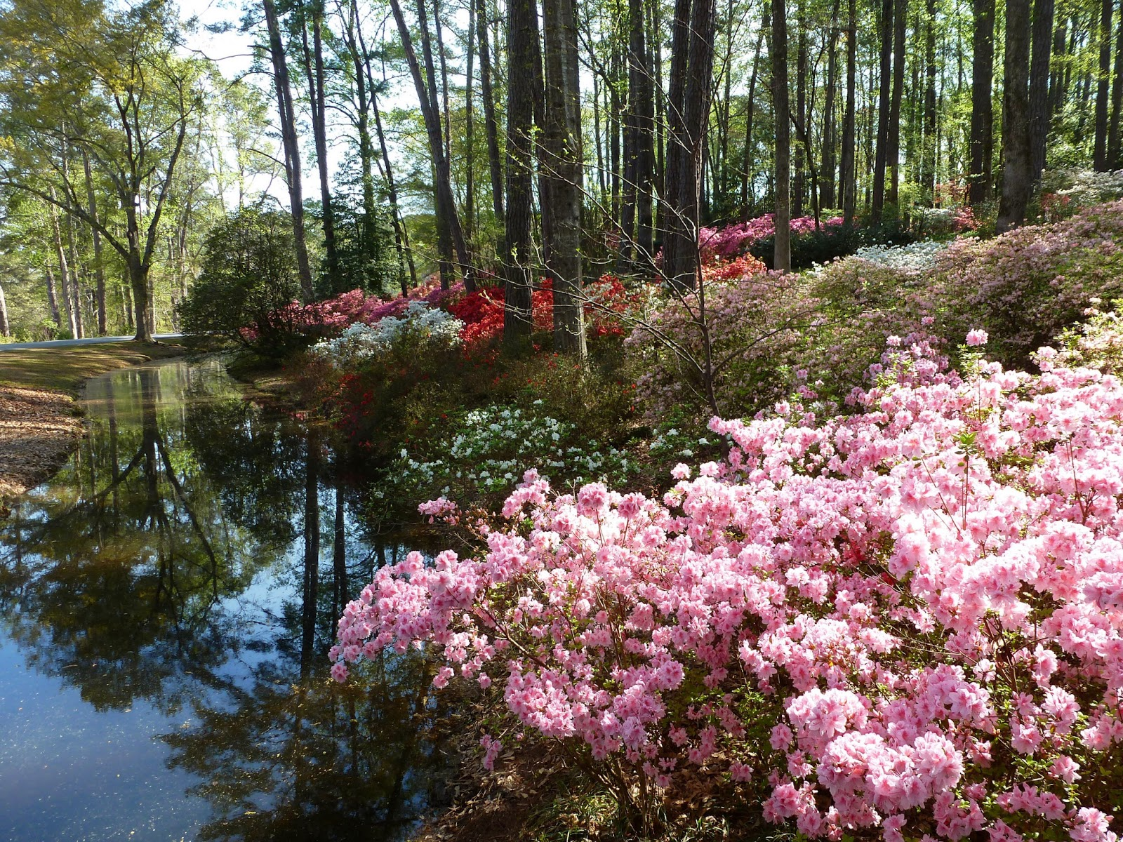 Georgia Garden: Recollections Of A Vagabonde: Azaleas At Callaway Gardens