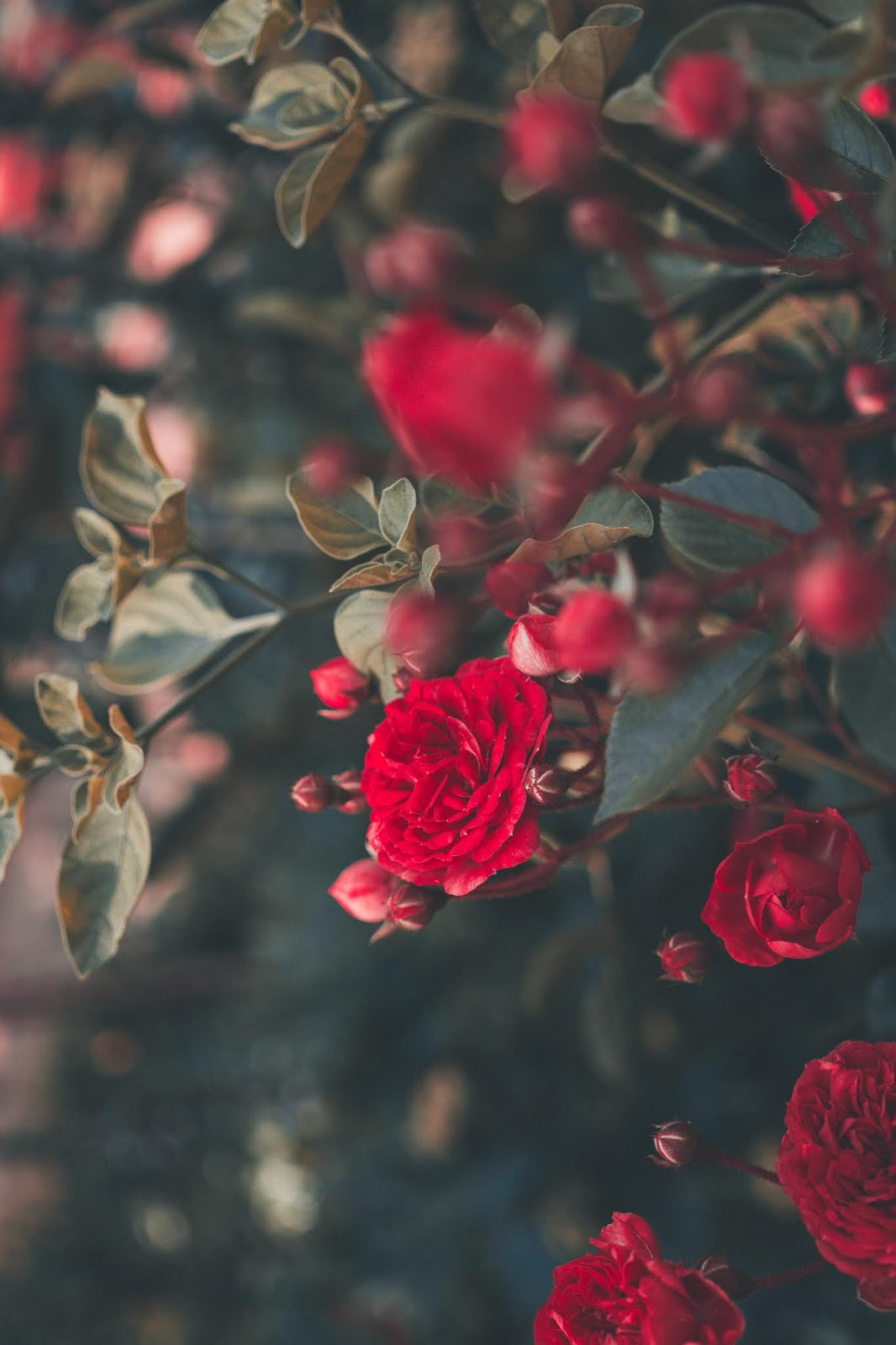 blooming red roses, rose images