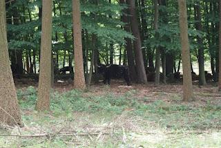 Ein großes, schwarzes Rind steht unter einem Baum und schaut in die Kamera