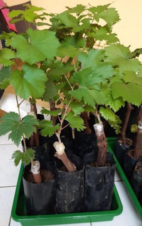 Bibit buah anggur import jupiter seedles Pekanbaru