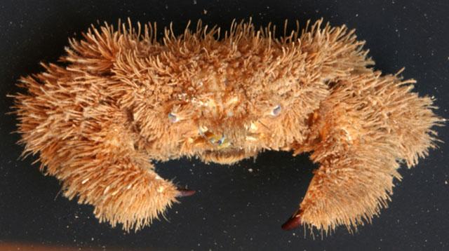 Kepiting-Teddy-Bear-Pilumnu
