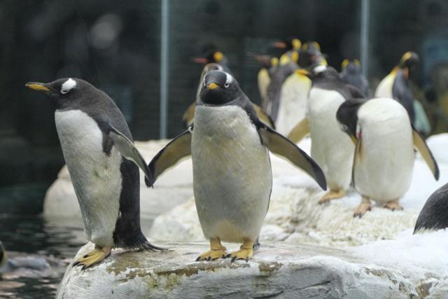 Coquetos y graciosos los pingüinos en el Selwo Marina